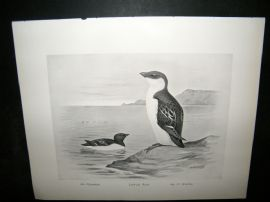 Frohawk 1898 Antique Bird Print. Little Auk